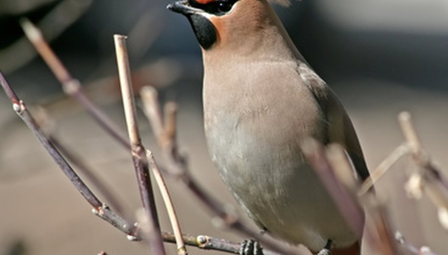 Waxwings like fruit-producing native shrubs like chokecherries.