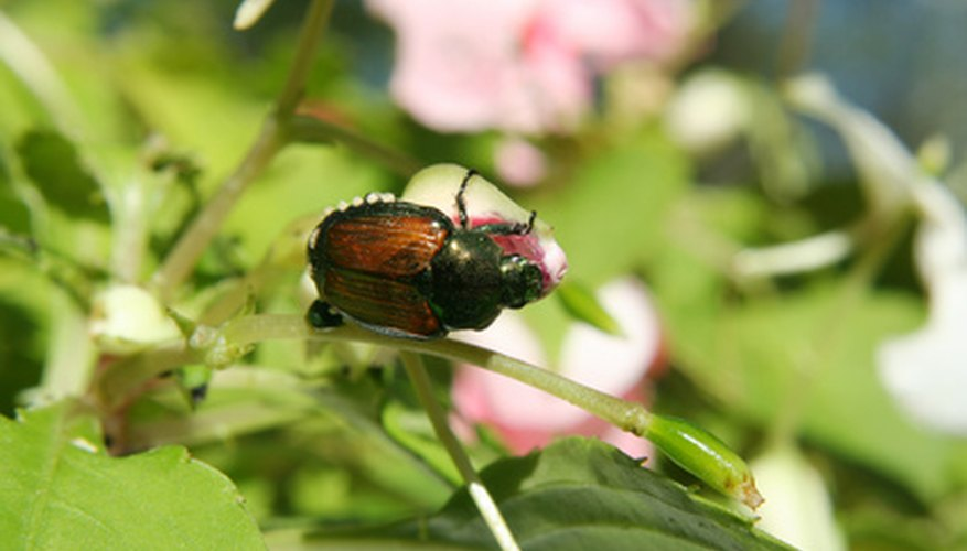 Japanese beetle, adult stage of the garden-decimating white grub
