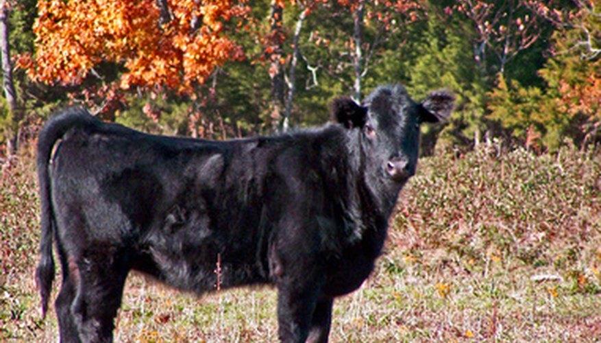 Las vacas Black Angus son negras y no tienen cuernos