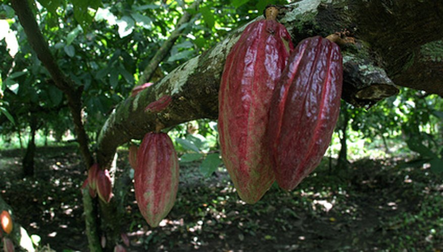 The cacao tree produces colorful seed pods.