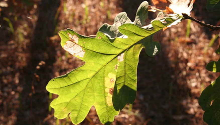 Most trees can be identified by the shape of their leaves.