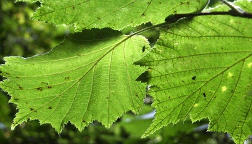 Aprende cómo las plantas almacenan energía durante la fotosíntesis.