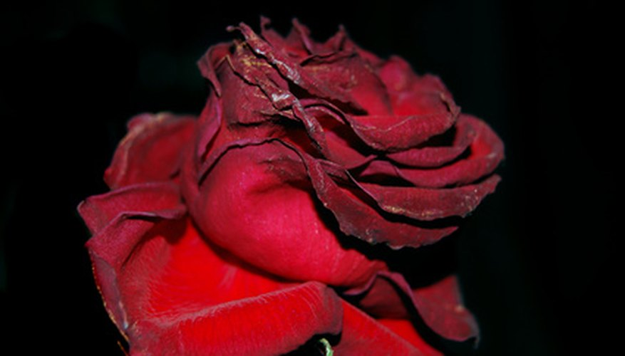 A single dried rose.