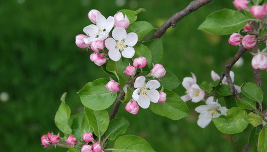 A coralburst crabapple's pink flowers bloom in early spring.
