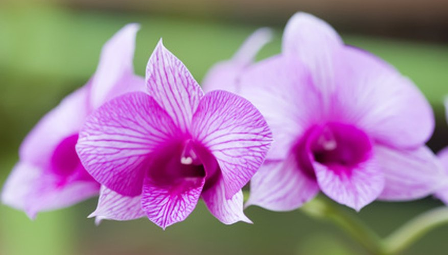 Dendrobium orchids don't need a lot of water.
