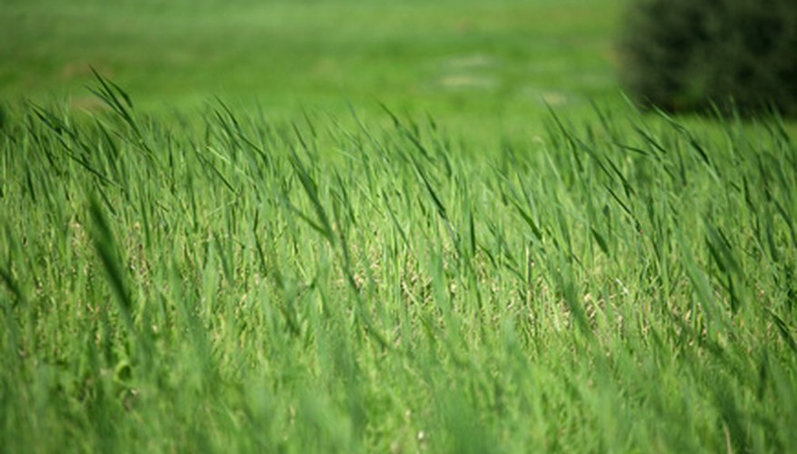 Tall fescue can complement ornamental lawns, but can be difficult to get rid of if you don't like it.
