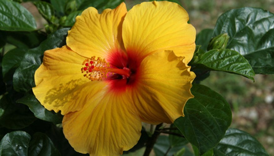 Hibiscus provides year-round blooms.