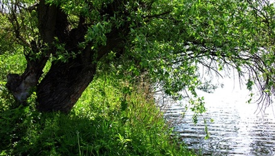 There are  a variety of uses for willow trees.