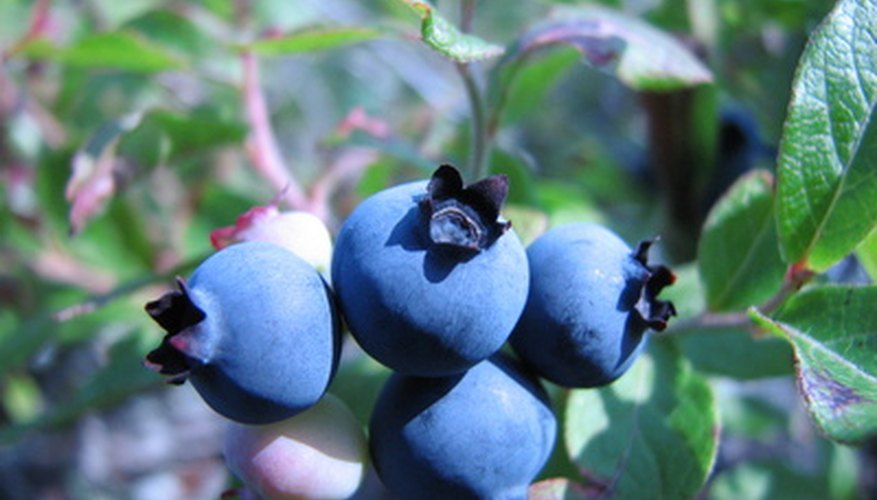 Luscious blueberries grow well in south Texas.