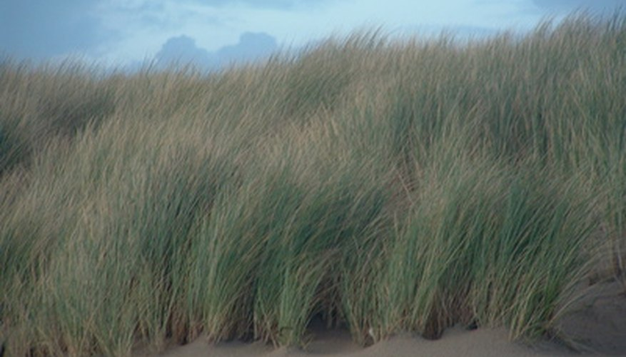 Beach grasses can help stabilize sand dunes.