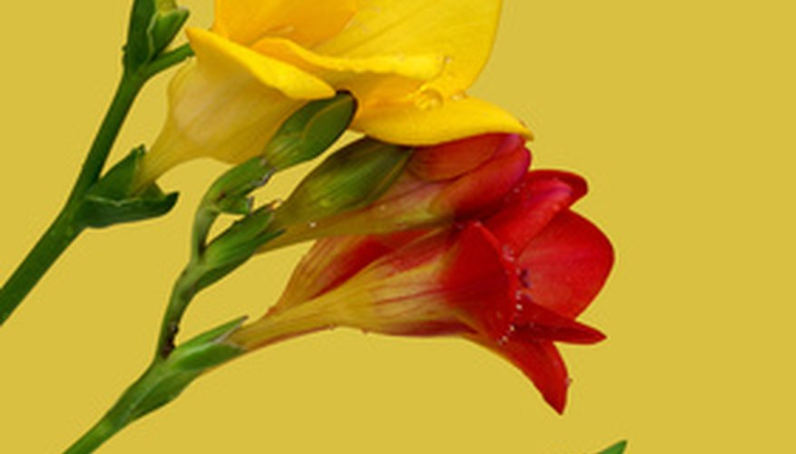 Freesia bulbs produce flowers in a variety of colors.