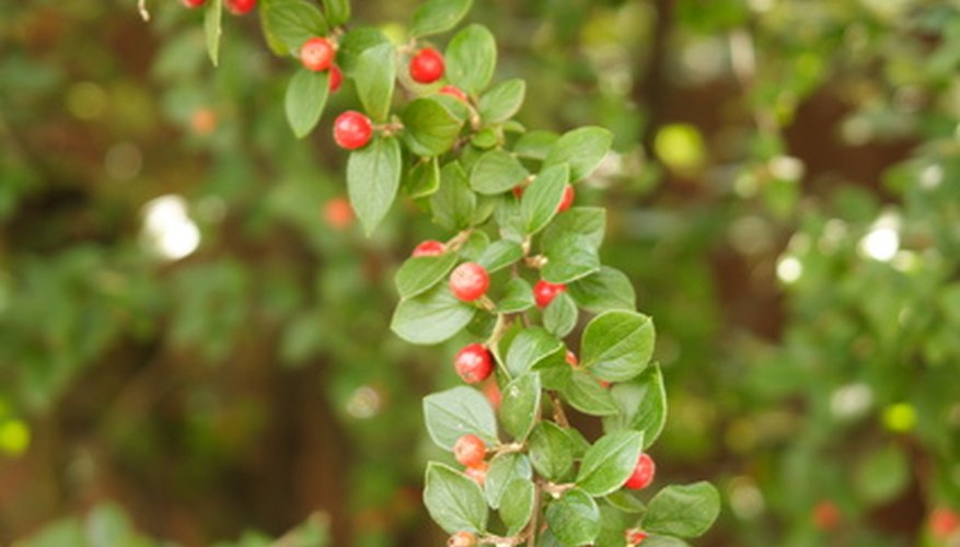 Cotoneaster showing red berries