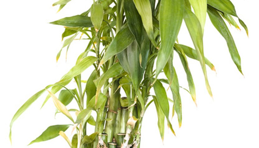 Bamboo stalks are called culms.