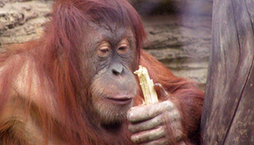 Algunos monos se alimentan de insectos.
