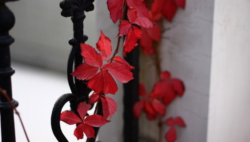 Los científicos saben más acerca de lo que causa que las hojas sean rojas en comparación a por qué son de color rojo.