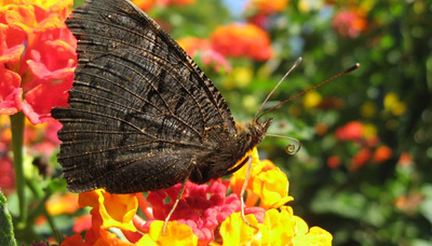 A butterfly feeds from lantana, which grows well in Dallas.