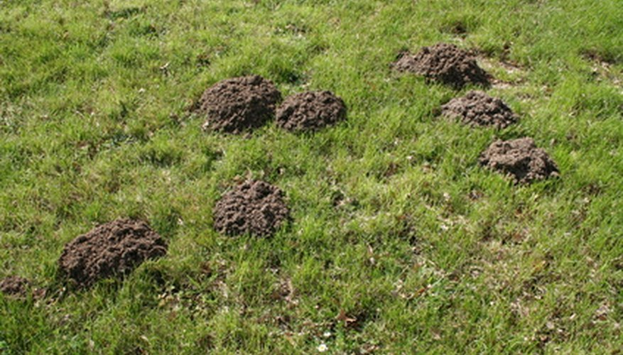 Burrowing moles leaves mounds of dirt on top of lawns.