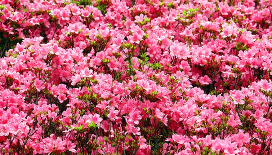 Flowering shrubs light up the landscape.