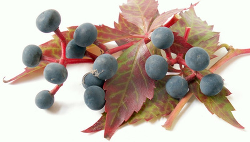 Boston ivy has small, blue berries that have a toxic substance.