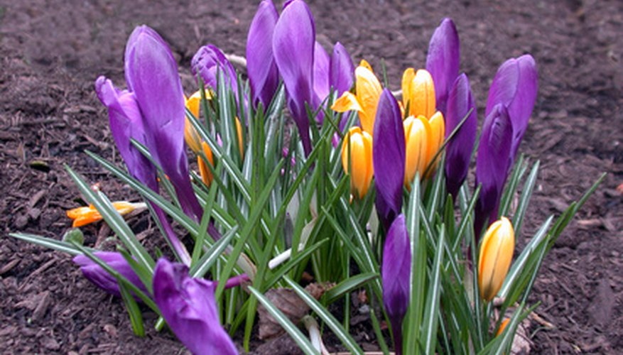 Small, bright crocus blooms early.