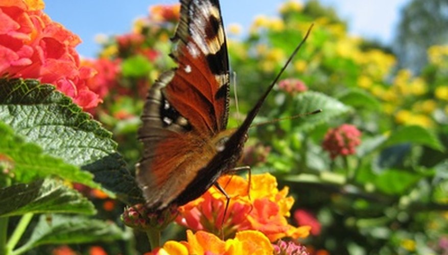 A butterfly eats nectar from a lantana flower cluster.