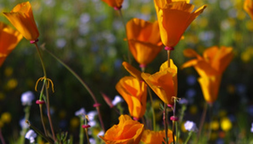 Colorful California poppy is a beetle-pollinated plant
