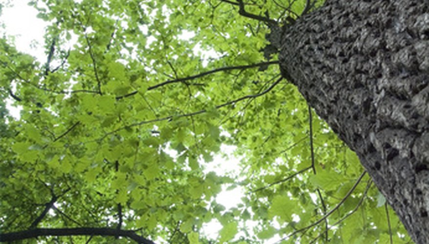 Save your diseased oak tree immediately to restore its health.