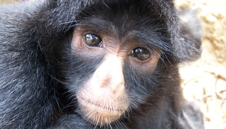 Spider monkeys are common inhabitants of the rainforest canopy.