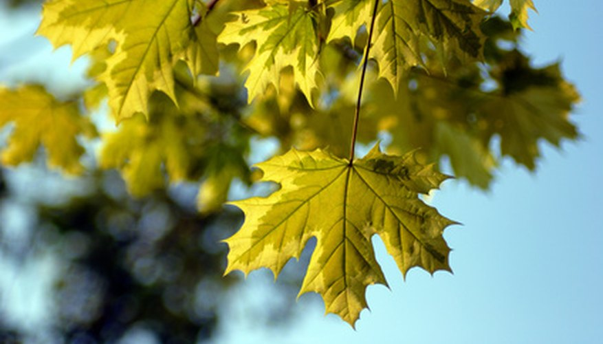 These maple leaves show signs of iron deficiency.