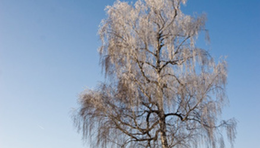 White birch tree in winter.