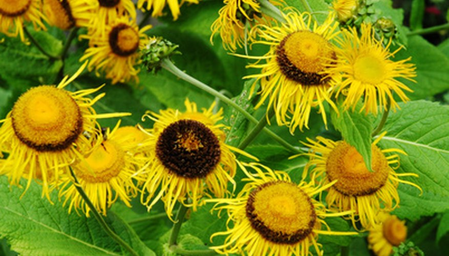 Sunflowrs grow well in hot sun.