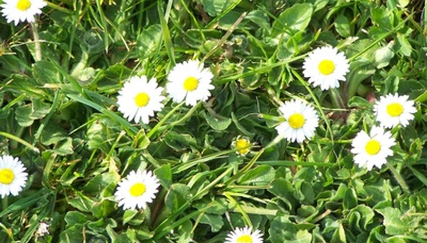English daisies are small, low growing perennials