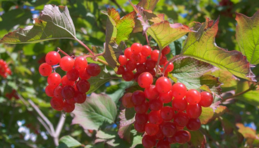 Cherry red viburnum berries form on chindo in the late summer and fall.