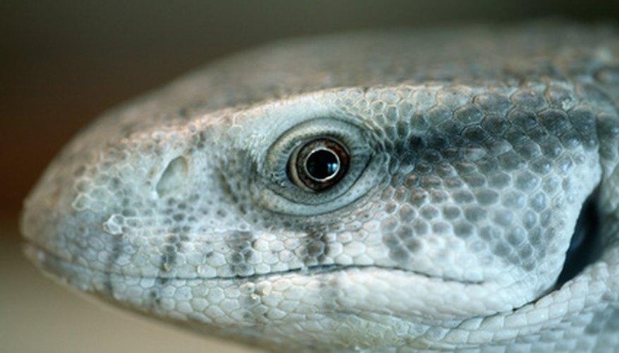 Los reptiles tienen sistemas respiratorios únicos.