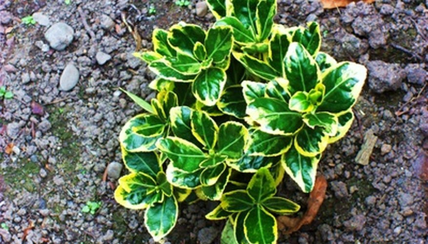 Healthy plants have bright foliage and firm leaves.