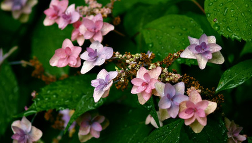 Soil chemistry determines whether a hydrangea will be blue or pink.