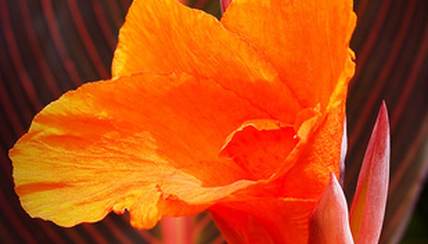Orange canna with striped foliage