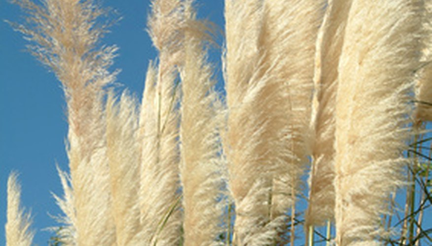 Plumes from pampas grass.