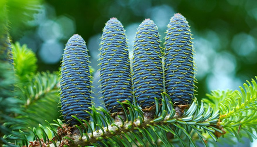 Spruce cones grow upright.
