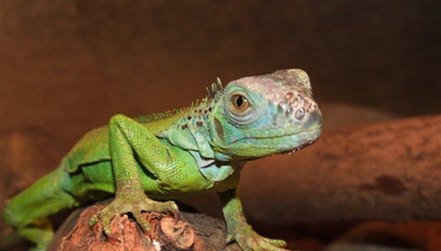 Las similitudes entre anfibios y reptiles no son tantas como parecen.