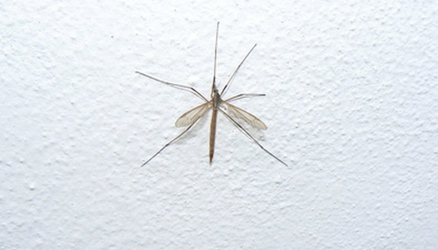 Crane flies resemble mosquitoes but are harmless.