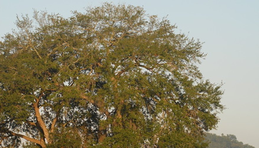 The mighty oak is a healthy, long-living tree.