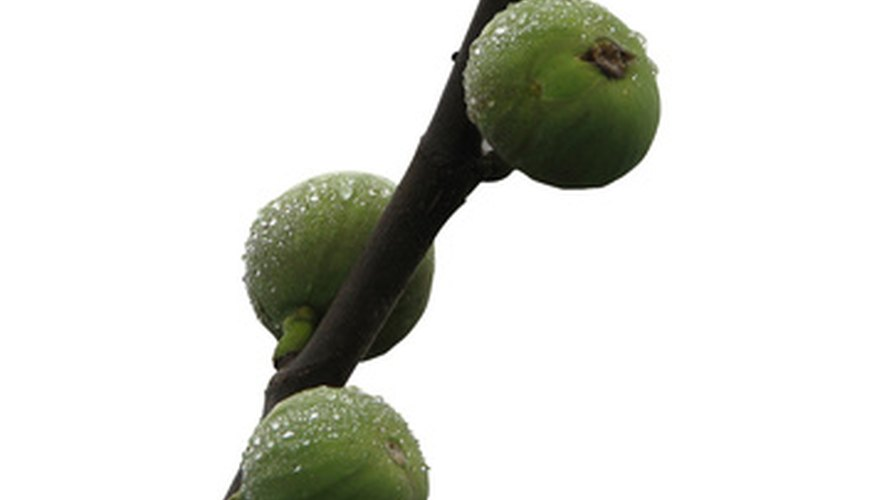 Fig trees require protection to produce quality fruit.