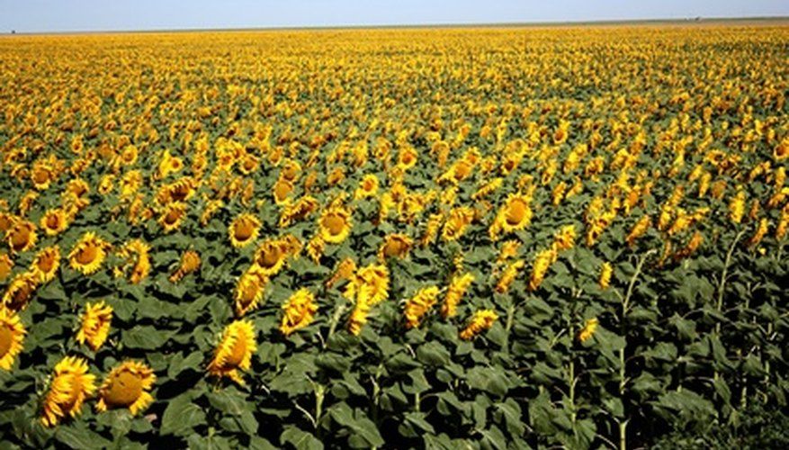 Sunflowers have three distinct growth stages.