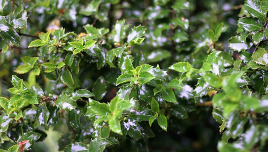 Some evergreen shrubs love wet soil.