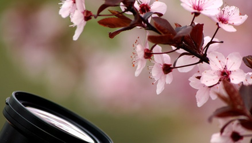 Flowers on a weeping peach can grow close together.