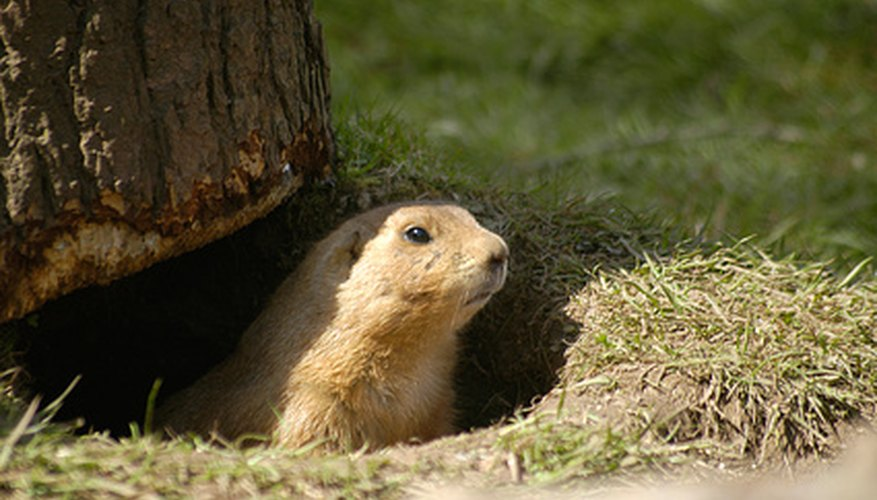 Prairie dogs are pests when found in gardens and lawns.