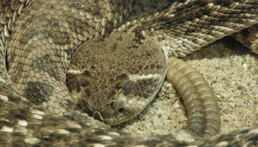 How to Perform Taxidermy on a Rattle Snake