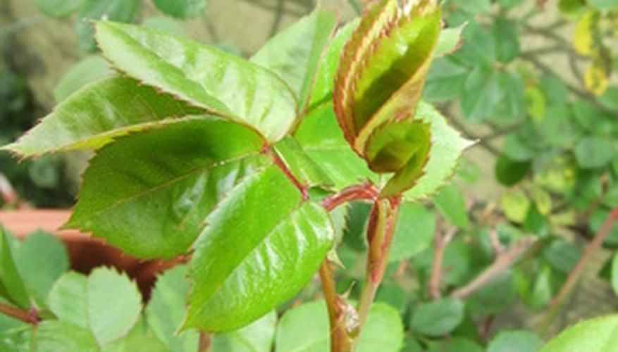 Rose leaves grow in leaflets.