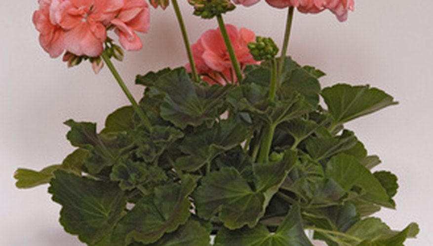 Geraniums thrive in containers when given proper care.